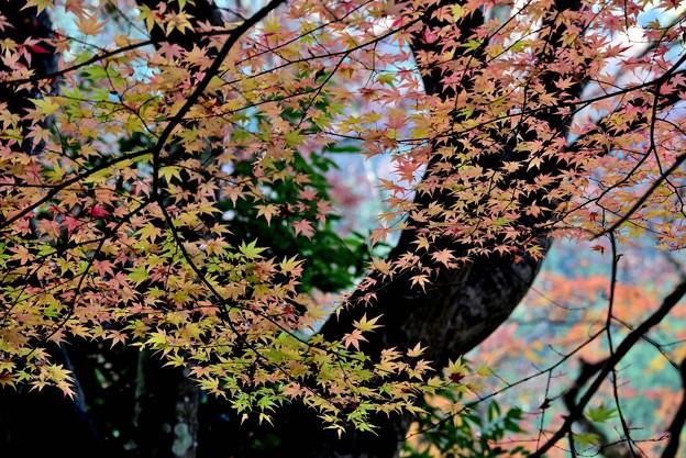 Photos: 五色のモミジ