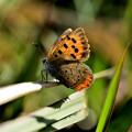 Photos: 12月の蝶たち