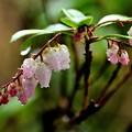 雨に咲く春(アセビ)