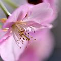 今年の桜は..