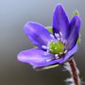 Photos: 紫も咲き始め