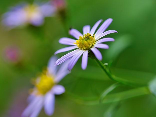 秋の野菊は