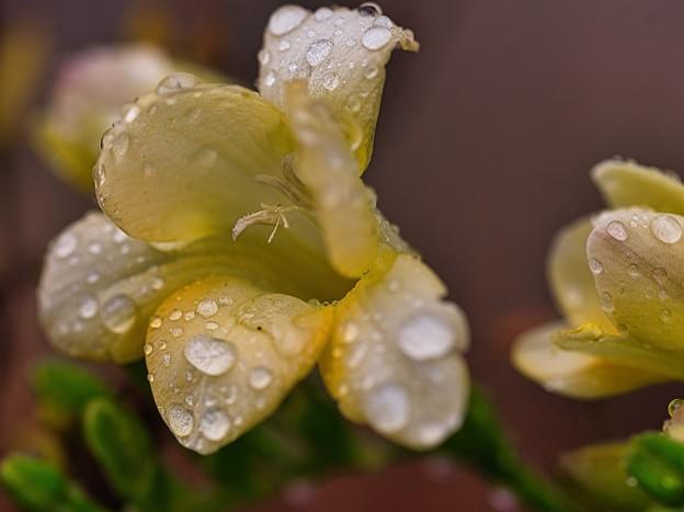 Photos: 雨に咲く