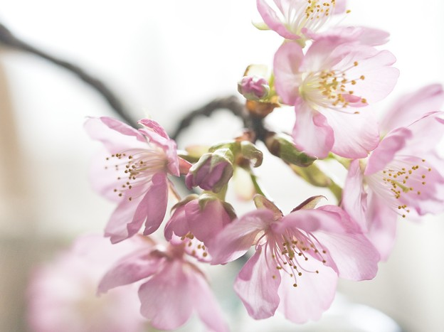 Photos: 淡色桜