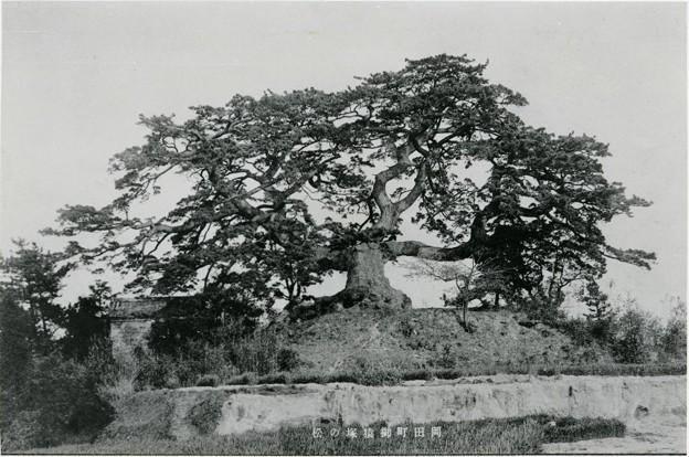 岡田お猿塚の松(昭和36年に枯れる)(知多市デジタル写真館)