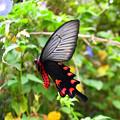 写真: ジャコウアゲハ八重山亜種♂(石垣島)