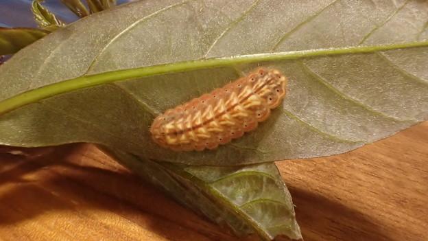 ヒサマツミドリシジミ終齢幼虫(上石津産)