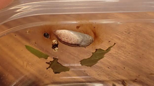 ムラサキシジミ蛹(岡田産)
