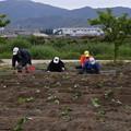 写真: 芋苗植え付け (1)