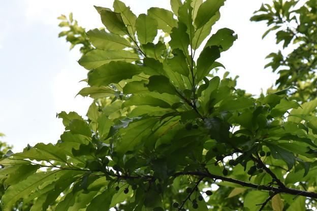 スモモの木(丸瀬布)