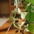 写真: スミナガシ幼虫(東近江市産)