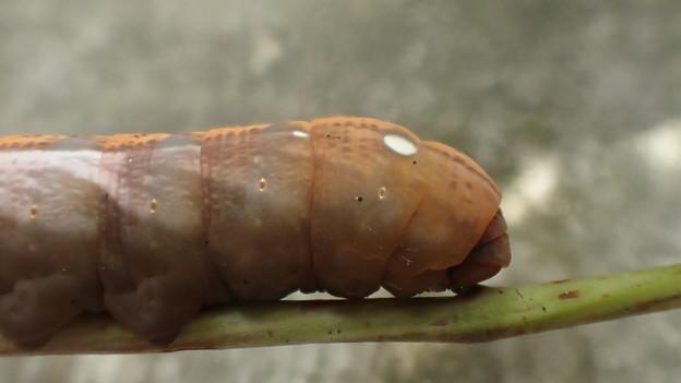 キイロスズメ幼虫(家) (1)