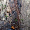 裏山のコナラの木