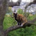 柿の木に登るニャンコ