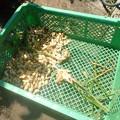 写真: 本日の収穫 (2)