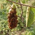 キイロスズメバチ蜂玉