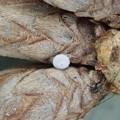 ヒサマツミドリシジミの卵(東近江市)