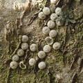 ミドリシジミの卵(岡田) (4)