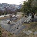 ミカン畑に防草シートを貼る (2)