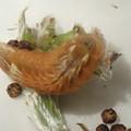 フジミドリシジミ幼虫 (1)