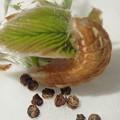 フジミドリシジミ幼虫 (2)