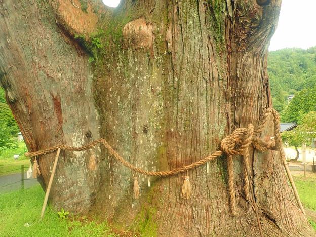 月ヶ瀬の大杉 (3)