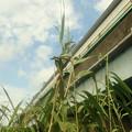 葦の造形物(新川) (2)