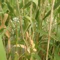 葦の造形物(新川) (3)