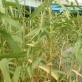 葦の造形物(新川) (4)