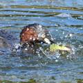Photos: ギンヤンマ♀を襲ったカイツブリ (1)