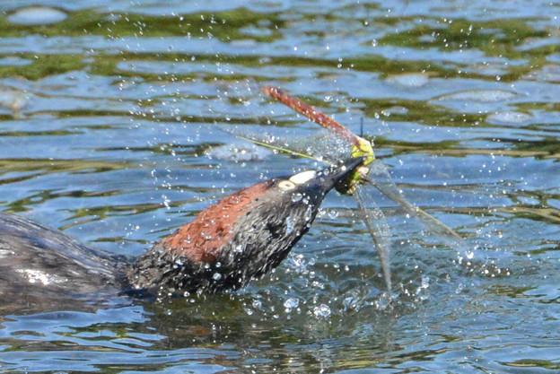 ギンヤンマ♀を襲ったカイツブリ (2)