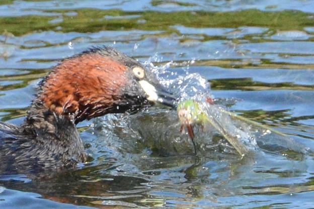 ギンヤンマ♀を襲ったカイツブリ (3)