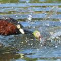 Photos: ギンヤンマ♀を襲ったカイツブリ (4)