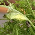 キアゲハ蛹