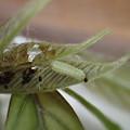 ヒサマツミドリシジミ幼虫(3月31日)