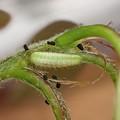 ヒサマツミドリシジミ幼虫(3月31日) (3)