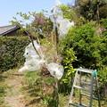 Photos: オオムラサキ幼虫袋がけ(4月27日) (1)