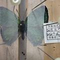 ヒサマツミドリシジミ♂展翅