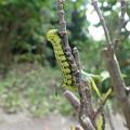 オオスカシバ幼虫(家、5月20日) (2)