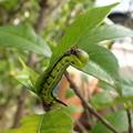 オオスカシバ幼虫(家) (2)