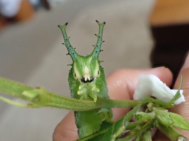 ブルーオオムラサキ幼虫(6月10日) (3)