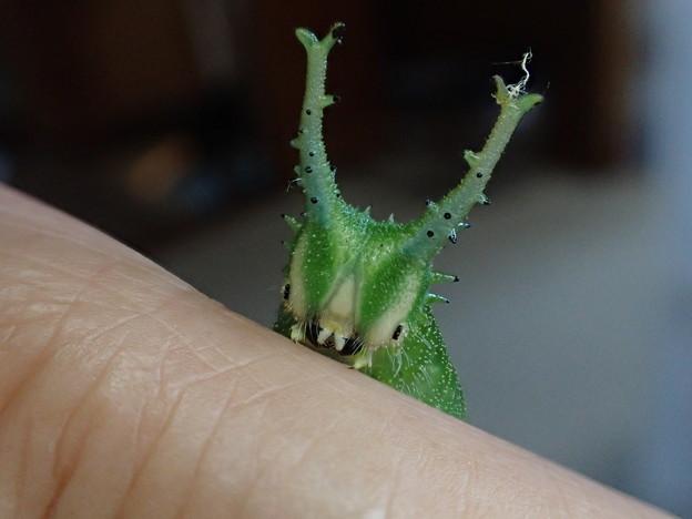 ブルーオオムラサキ幼虫(6月19日) (1)