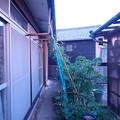 Photos: ゴーヤ(家) (2)