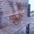 蜂玉攻撃 (1)