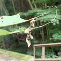 アワブキの簾(東近江市)