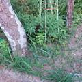 庭のウマノスズクサ (2)