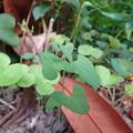 庭のウマノスズクサ (4)