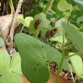 庭のウマノスズクサ (5)