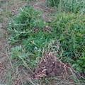 落花生の試し掘り (2)