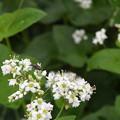 蕎麦の花に集まる虫たち (1)